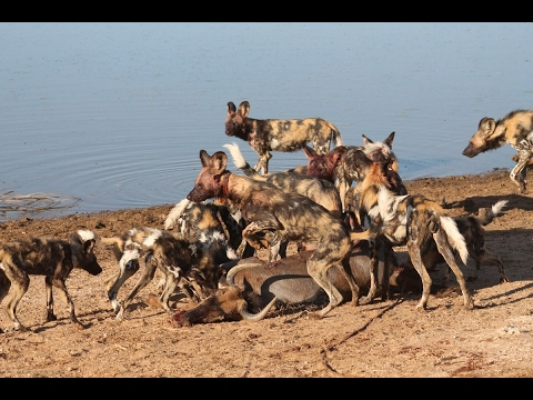 The Pack Wild Dogs (National Geographic)