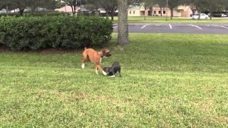 Boxer Meets Weimaraner