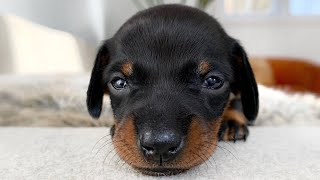 how-are-the-dachshund-puppies