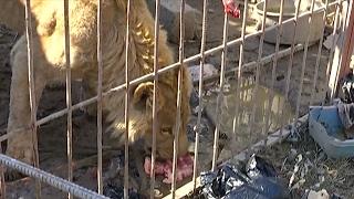 Животных в зоопарке Мосула, наконец, накормили (новости)