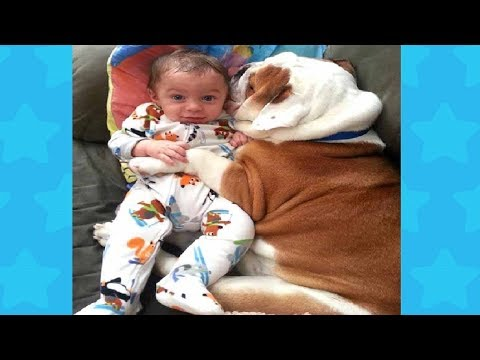 English Bulldog and Baby Cute Videos