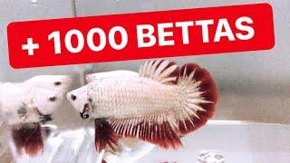 VISITA CRIADERO DE BETTAS !!! Betta Halfmoon Madrid