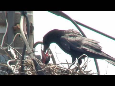カラスのヒナの駆除 巣の撤去 害鳥 駆除 電柱 ハンガー 電線 ...