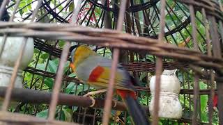 Giọng hót chim Ngũ Sắc