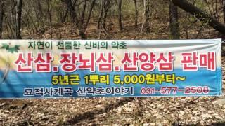 산약초이야기 산삼/장뇌삼/산양삼/판매