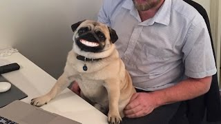 Musqot Office Pug And Customer Quotes