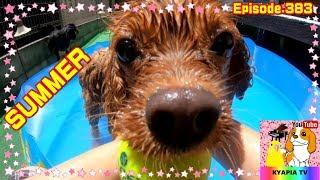 毎年恒例のキャバリア犬の水浴びではありますが、ほぼ母ちゃんの自己満...