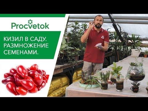 Чудо-ягода КИЗИЛ нужна каждому! Как вырастить из косточки плодовые растения?