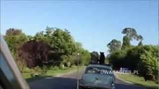 Dzika Rosja - Pies na dachu samochodu
