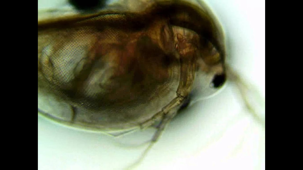 daphnia heart beat This is a daphnia heart beating, and you can see a developing embryo's eye just below.