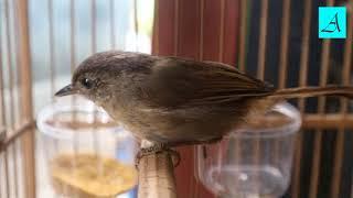 Dijamin Burung Flamboyan Anda Langsung Buka Paruh dengan Suara Ajaib Burung ini
