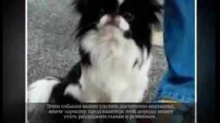 Маленькие породы собак ЯПОНСКИЙ ХИН