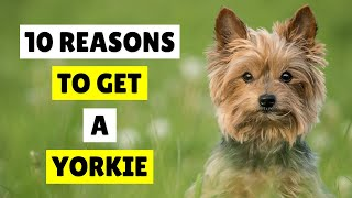 10 REASONS To Get A YORKIE  Yorkshire Terrier Dogs 101