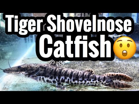 Tiger Shovelnose Catfish Care Guide - Aquarium Monsters