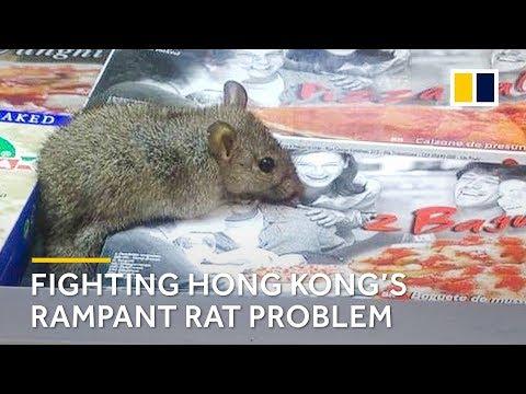 Fighting Hong Kong's rampant rat problem