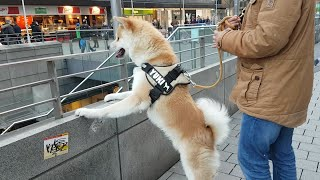 Akita Dog - Today Yuki met many humans and dogs and heard many new ...