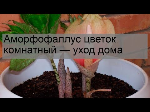 Вопрос: Как часто цветет аморфофаллус?