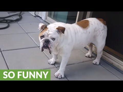 English Bulldog eagerly tries fresh picked raspberries