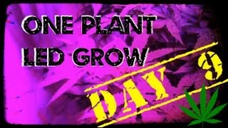 Day 9, One Marijuana Plant Led Grow Using The Best Led Lights For Growing Indoors.