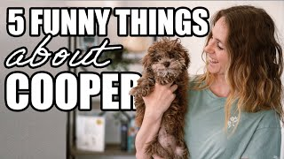 5 Funny Things About Cooper (Our Miniature Poodle)