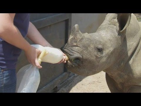 Baby rhino orphanage in South Africa gives calves a second chance