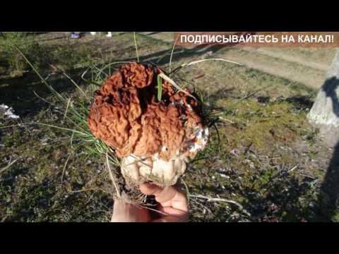 Сморчки - Полезные и опасные свойства сморчков