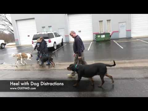 Rottweiler with food and toy aggression attends training with Off Leash K9 Training, Maryland