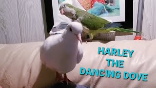 THE ONE & ONLY HARLEY THE DANCING DOVE 😂