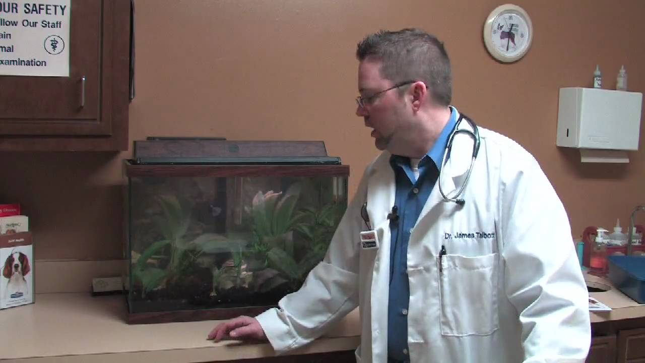 Pet & Animal Care : How to Tell If a Goldfish Is Pregnant