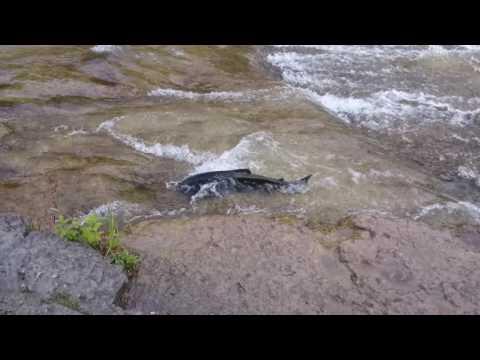 Salmon Run 2016 at Ganaraska River Port Hope Ontario Canada