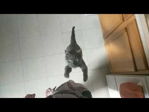 Slow-mo Russian Blue Cat Jump