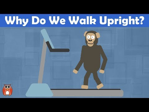 Why Do We Walk Upright? The Evolution Of Bipedalism