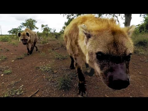 Hyena Catchup: Geena's Clan | The Lion Whisperer