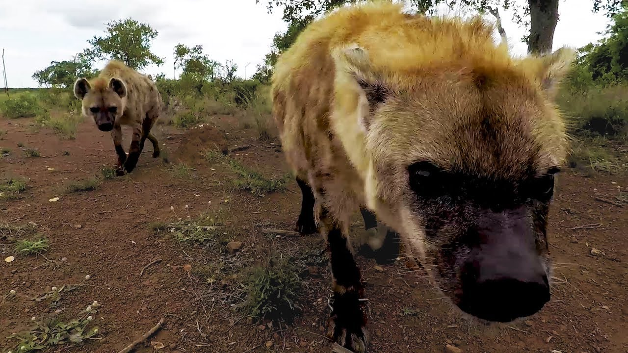 hyena-catchup-geena-s-clan-the-lion-whisperer