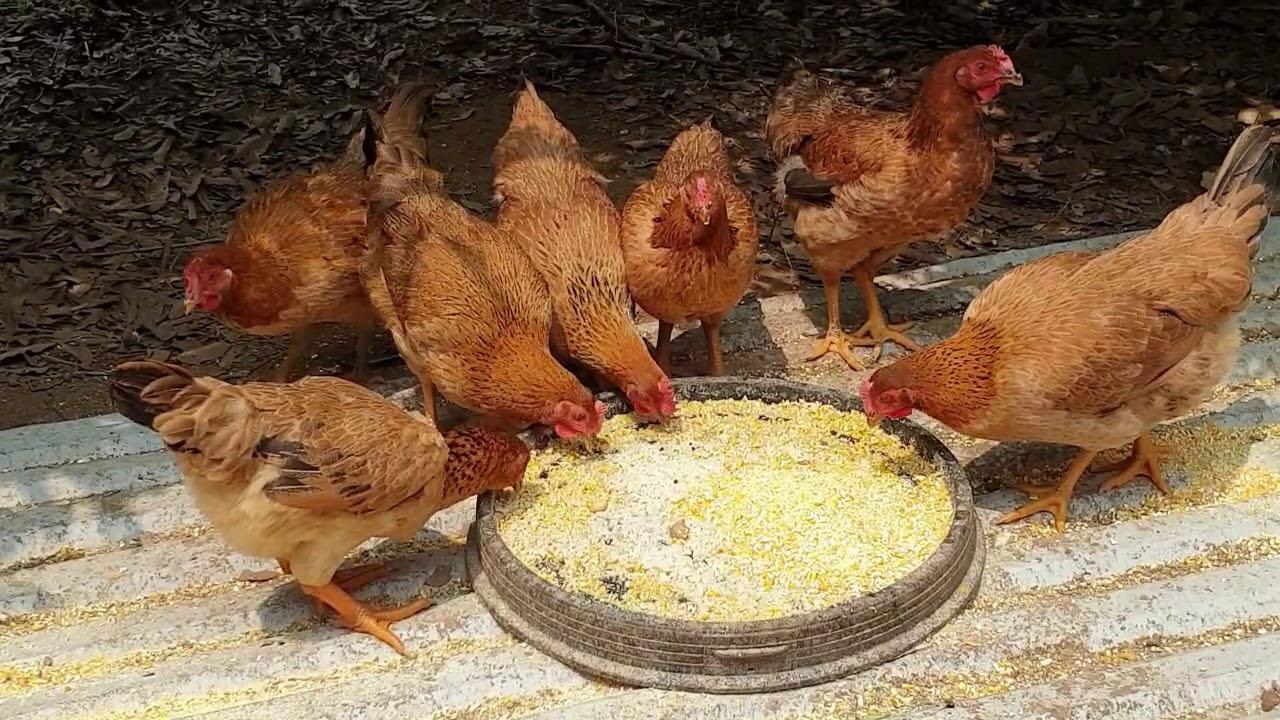 Nấu rượu… nuôi gà tại đảo chuối