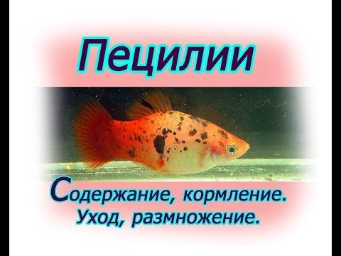 Пецилии, Содержание, уход, кормление, размножение, аквариум
