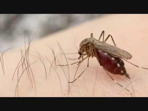 Riesen Stechmücke