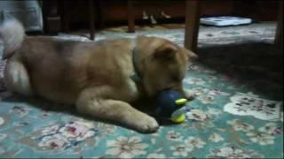 音が鳴るペンギンのおもちゃがちょっと怖いけどコンチクショウ! ・・・...