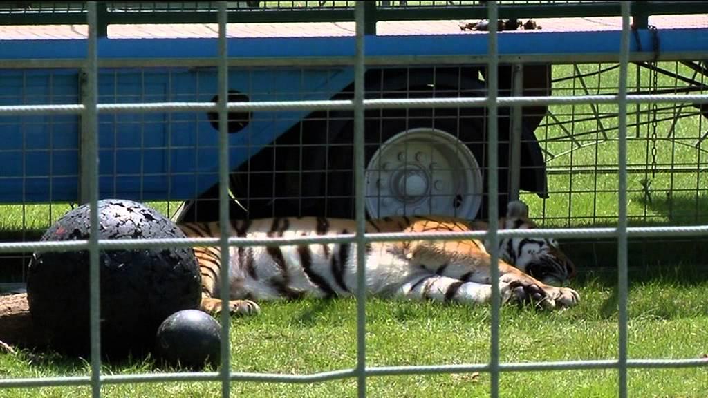 015c15731a5f78 Geen verbod om wilde dieren circus - YouTube