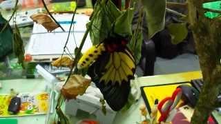 第一隻黃裳鳳蝶成功羽化囉!! 可惜沒有拍到破蛹而出的那一瞬間... 這隻...