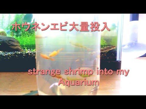 [アクアリウム] 水槽にホウネンエビ導入!! Anostraca into my