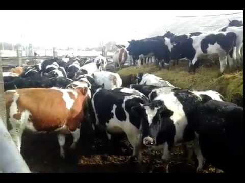 КРС,КРС оптом,телки,телята,бычки,откор,купить,породы 89656176005 +7 965 617 60 05 Звоните!