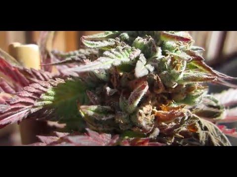 Identifying Bud Rot on Marijuana Plants - Botrytis or Gray Mold