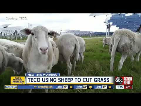 TECO using eco-friendly sheep to 'mow' grass at solar farms