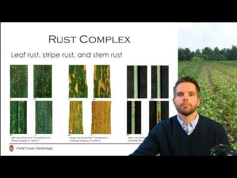Wheat Disease Management