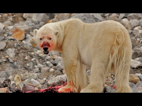 11 Reasons Why You NEVER Want to Encounter a Polar Bear!