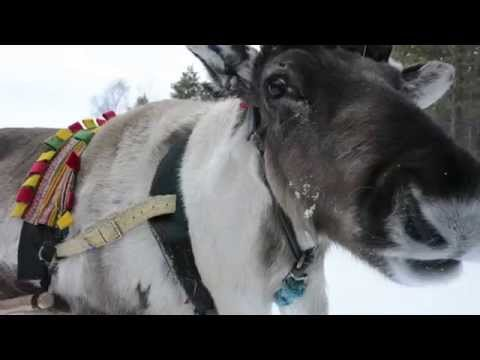 Driving a Reindeer Sleigh in Finland
