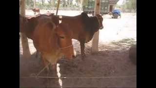 Sahiwal Cattle Fair Dairy Farm Livestock 17 June 2010 RCCSC Jhang Pakistan