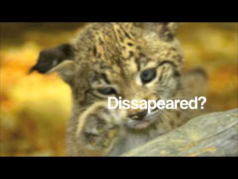Save The Iberian Lynx!