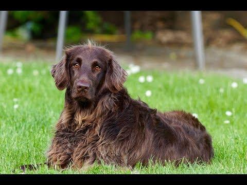 German Spaniel (Deutscher Wachtelhund) / Dog Breed